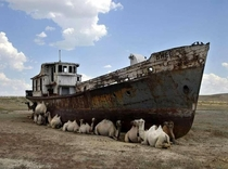 Camels sitting in the shade of an abandoned boat on the dried up Aral Sea
