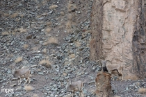 Can you spot a Snow Leopard Uncla uncla stalking bharal blue sheep Pseudois nayaur