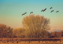 Canada Geese and Sandhill Cranes in Albuquerque NM