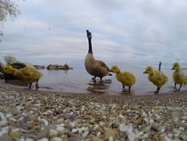 Canada geese family on Lake Ontario