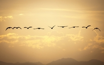 Canadian geese flying off into sunset  x