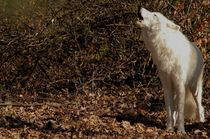 Canadian Gray Wolf Canis Lupus