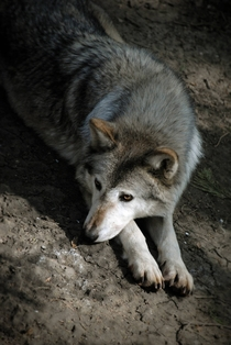 Canadian Timber WolfCanis lupus occidentalis by Tom Morgan