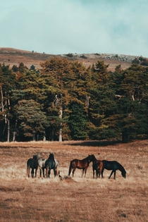 Canadian trees Bosnian wild horses and Bosnian highlands