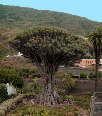 Canary Islands Dragon Tree Dracaena draco