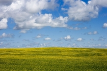 Canola blooming in the Alberta Prairies by me