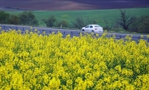 Canola cultivation area in Turkey is growing rapidly