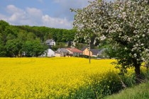 Canola field in Huttingen Germany