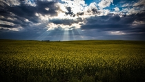 Canola field south of Calgary AB Canada
