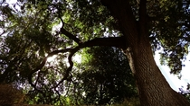 Canyon Live Oak UC Davis Arboretum California  OC
