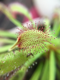 Cape Sundew leaf unfurling