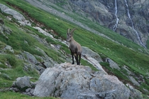 Capricorn looking for food near a mountain hut in Switzerland