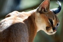 Caracal Caracal caracal unknown location by Steve Snodgrass