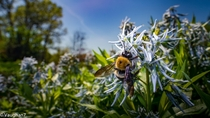 Carpenter bee on some shining blue star flowers Amsonia illustris