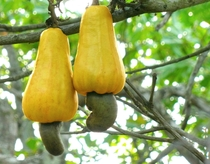 Cashew Anacardium occidentale apples in Kollam India photo by Abhishek Jacob