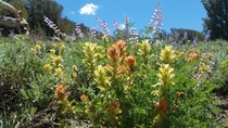 Castilleja and Lupinus in the Sierra Nevadas
