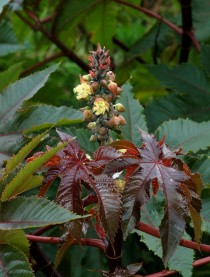 Castor Oil Plant - The plant that makes the deadly toxin ricin sp Ricinus communis