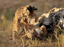 Cats will always be cats Two juvenile iberian lynxes playfighting