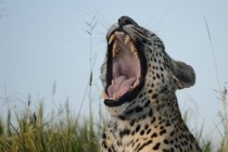 Caught a yawning leopard Panthera pardus In the Sabi Sands Reserve South Africa