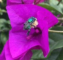 Caught this bee in the Bougainvillea