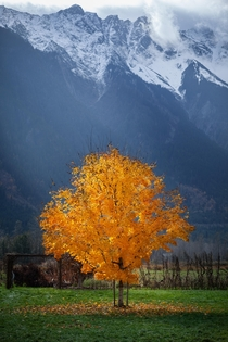 Caught this tree at the perfect moment Pemberton BC Canada