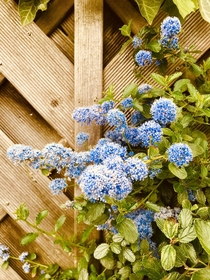 Ceanothus Arboreus complete with powder blue pom poms - cheers me up every year