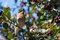 Cedar Waxwing catches its breakfast