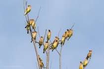 Cedar waxwings in my backyard in south Florida