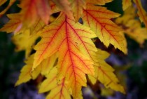 Celebrating Fall with one of my favorite shots Maple Leaf