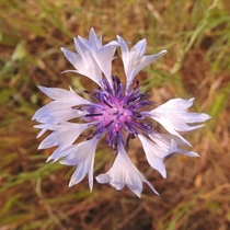 Centaurea cyanus bachelor buttons - an invasive weed in Oregon