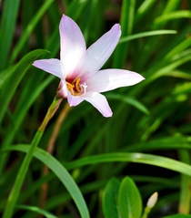 Ceylon Lily or Crinum Zeylanicum  - Carriage Hill Florida