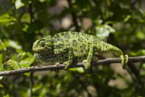 Chameleon in Samos Greece