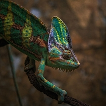 Chameleon  x  Photo By Tolo Duran