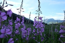 Chamerion angustifolium Fireweed near the Rocky Mountain Biological Laboratory