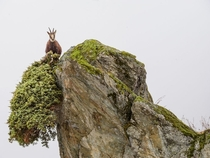 Chamois foraging in the high altitudes of Italys Gran Paradiso National Park photo by Stefano Unterthiner
