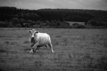 Charolais Cow Bos taurus seen on Motorcycle Roadtrip through France