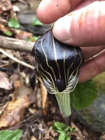 Check out the inside of this beautiful Jack in the Pulpit I found today Near Boone NC