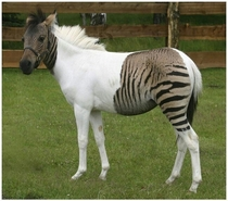 Check out this zorse