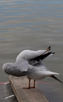 Check this seagull pretzeling himself Does he have no shame