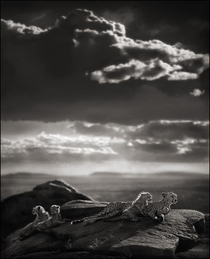 Cheetah amp Cubs Lying on Rock Serengeti   -- by Nick Brandt