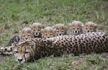 Cheetah and family