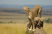 Cheetah and her cubs