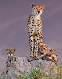 Cheetah and her cubs at the Mala Mala game reserve in South Africa  by Arun Mohanraj