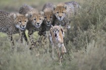 Cheetah cubs engage in hunting practice with a wounded Thomsons gazelle calf in Serengeti National Park Tanzania