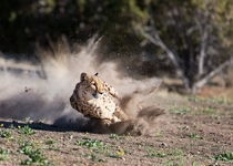 Cheetah Dust by Susan Koppel