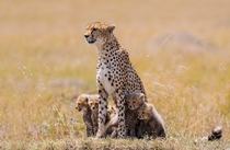 Cheetah Family by Mark Dumbleton