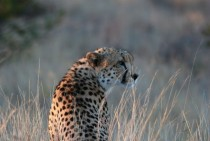Cheetah In Golden Light