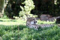 Cheetah in the San Diego Safari Park