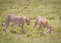 Cheetah juveniles practice hunting with wounded Hare in the Serengeti - photo by John Fielding