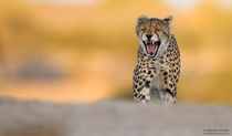 Cheetah Yawn by Hendri Venter